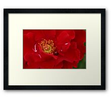 A Rose For The Lady Framed Print
