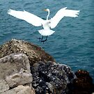 GREAT WHITE HERON by TomBaumker