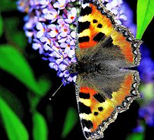 The Small Tortoiseshell Butterfly by Stephen Walton