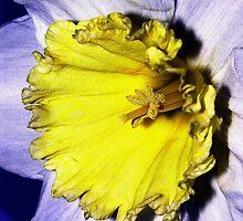 The Daffodil by Stephen Walton