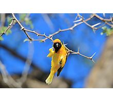 Golden Weaver - Hanging on for LIfe Photographic Print
