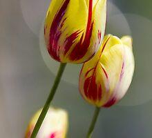 3 Tulips by Cynthia5