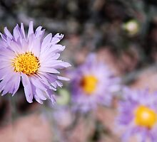 Mojave Asters by Benjamin Padgett