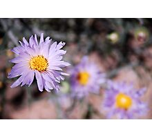 Mojave Asters Photographic Print