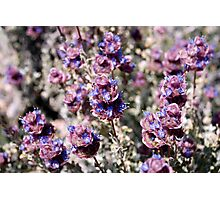 Mojave Violet Photographic Print