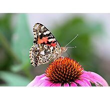 She's a Painted Lady (Vanessa Cardui on Echinacea) Photographic Print