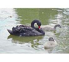 A Black Swan And Her Cygnets Photographic Print