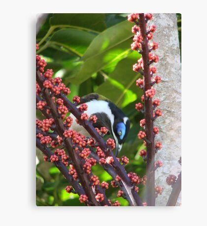 Blue Eyed Honey eater & Red Umbrella Fruit-2 Canvas Print