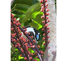 Blue Eyed Honey eater & Red Umbrella Fruit-2 Photographic Print