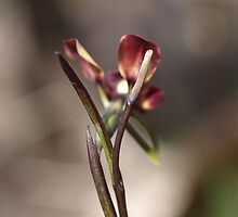 Donkey Orchid at the Falls by kalaryder