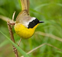 Common Yellowthroat 2 by Bryan Peterson