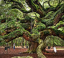 Angel Oak Tree by Kathleen Struckle
