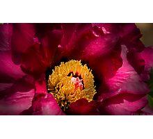 Rose Peony Photographic Print