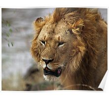 Portrait, Large Male Lion, Maasai Mara, Kenya  Poster