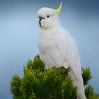 Cockatoo by Ken Boxsell