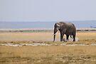 Bull Elephant Crossing the Plain, Amboseli, Kenya by Carole-Anne