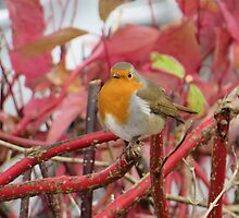 Ireland - Blarney Robin by soulimages