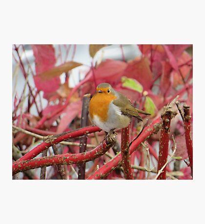Ireland - Blarney Robin Photographic Print