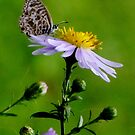 Sitting on an Aster by Gabrielle  Lees