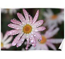 Daisy Dew Drops Poster