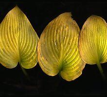 Golden Hosta Leaves by Barbara Wyeth
