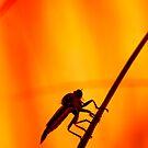 Robberfly by Frank Yuwono