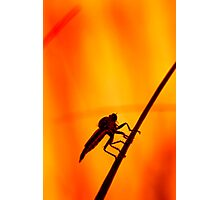 Robberfly Photographic Print