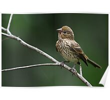 Frisky Little Finch Poster