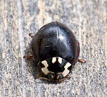 15 Spot  Ladybug by Geoffrey