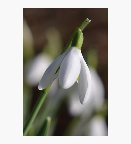A Single Snowdrop Photographic Print