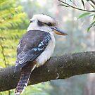 Kookaburra by Jeremy Mawson