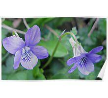 Violets Are Blue - Lyme , Dorset , Uk Poster