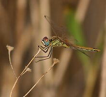 Dragon fly by athleticpete