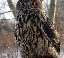 Daytime, Red-Eyed Cape Eagle Owl by tshirtdesign