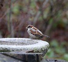 Water Fountain Finch by tshirtdesign
