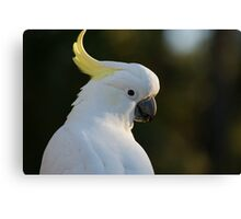 Australian Sulphur Crested Yellow Hair, White Cockatoo Canvas Print