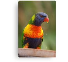 Australian Rainbow Lorikeet Canvas Print