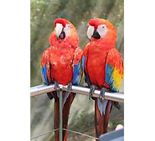 Red Macaw Parrots Photographic Print