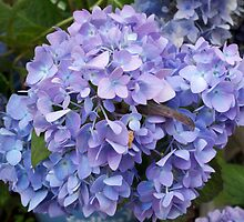 Wonderful hydrangea by daffodil