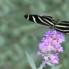 Zebra Longwing Butterfly by Shelley Neff