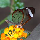 Transparent Butterfly  (Glasswing) by jdmphotography