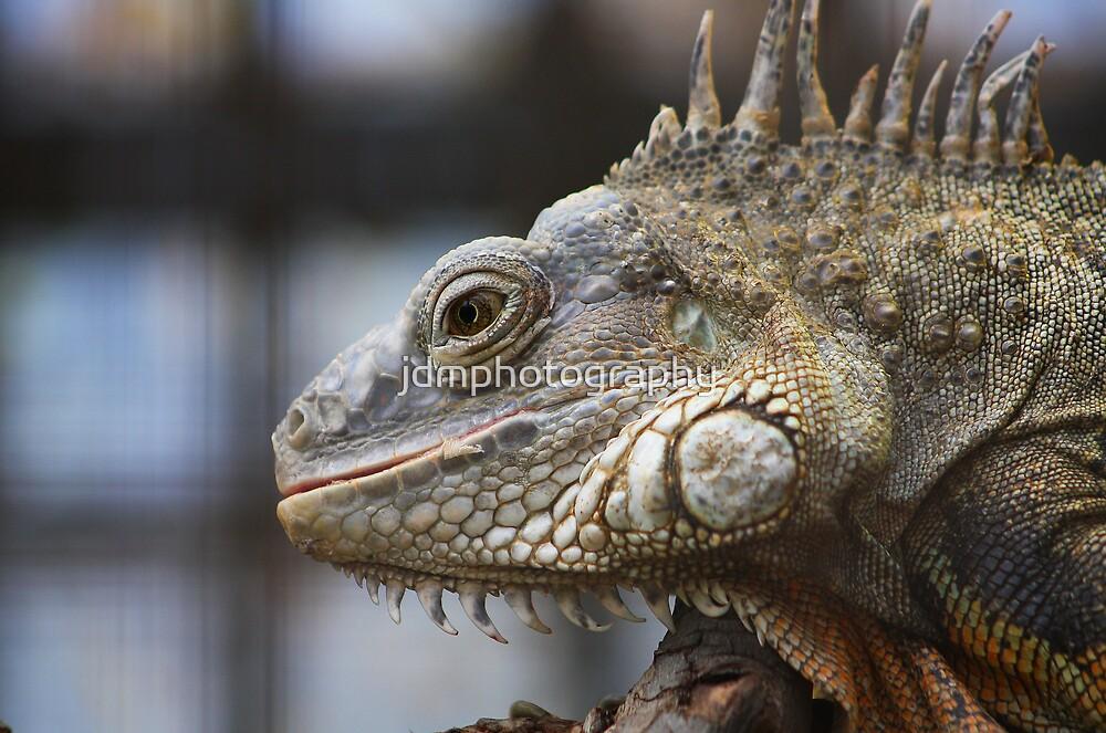 Large Iguana  by jdmphotography