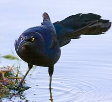 Grackle by Marvin Collins