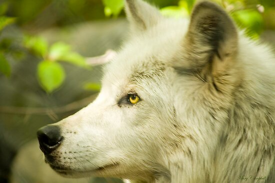 Artic Wolf - Forest of Wolves Series © by Mary Campbell