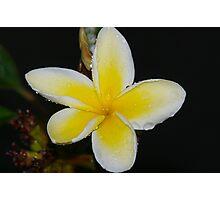 Plumeria teardrop Photographic Print
