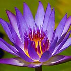 Tropical Water Lily by Chris Kean