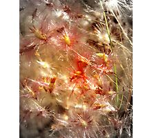 Thistly Photographic Print