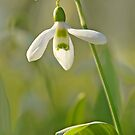 Snowdrop - March 2013 by cclaude