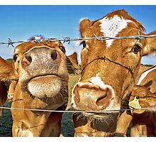 Poddy Calves Photographic Print