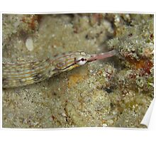 Torii Pipe Fish Poster